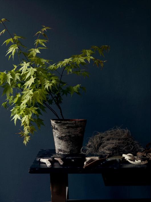 moodyblue_Hans Blomquist plant