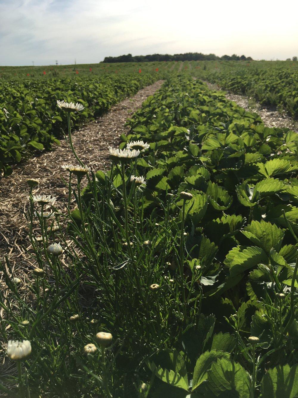 Straberry fields. Moncharis.jpg