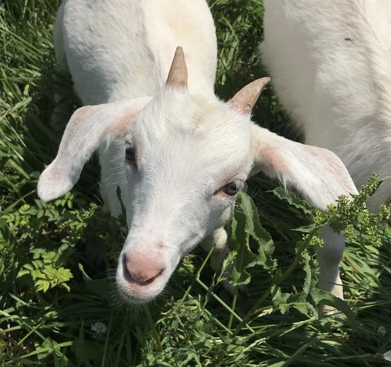 LSF goats 2.jpeg