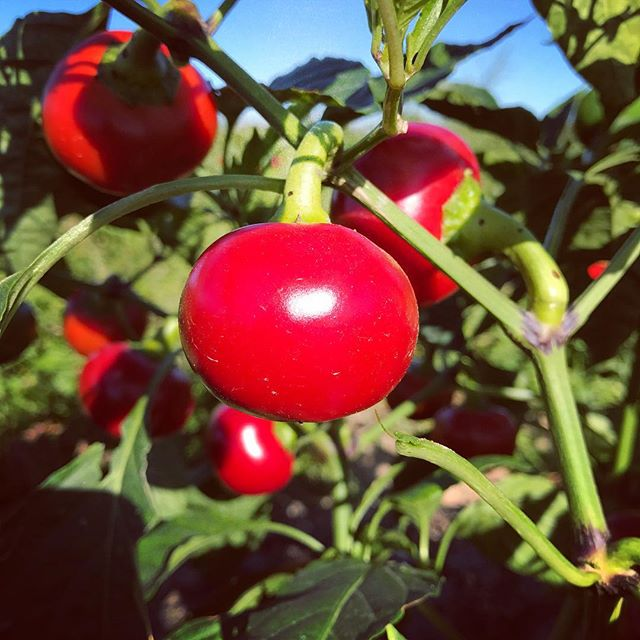 #cherrybombpeppers #certifiedorganic #organic #farmtotable #farm2table #nofo #hamptons #freshleecut #sangleefarms #local #sustainable #homegarden #homegrown #hotsauce