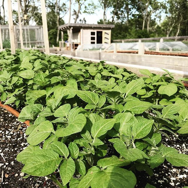 Potatoes are up! #spuds #certifiedorganic #organic #farmtotable #farm2table #nofo #hamptons #freshleecut #sangleefarms #local #sustainable #homegarden #homegrown #garden #ediblegarden