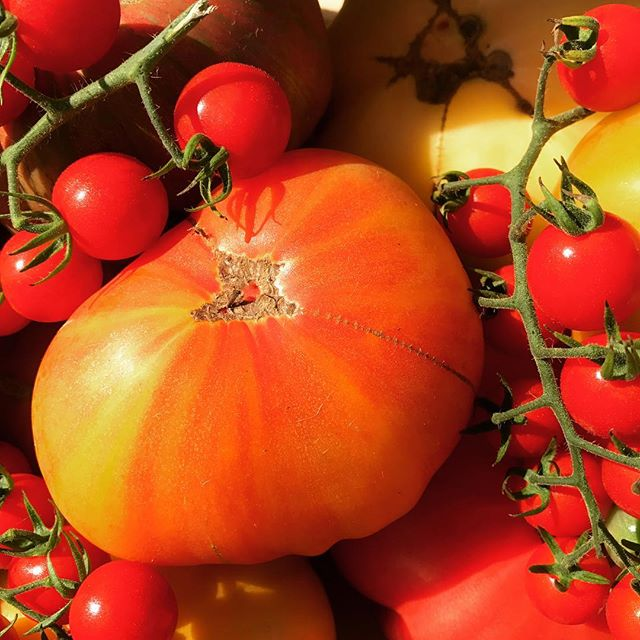 Patiently planning to have a harvest like last year! #heirloomtomatoes #certifiedorganic #organic #farmtotable #farm2table #nofo #hamptons #freshleecut #sangleefarms #local #sustainable #homegarden #homegrown #garden #ediblegarden