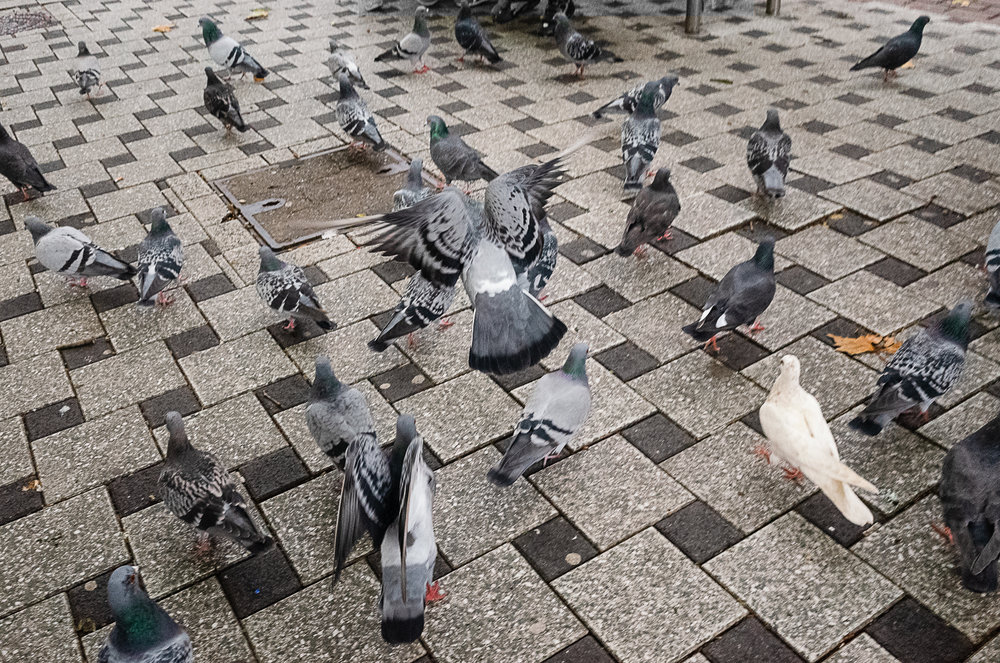 cardiff-pigeons.jpg