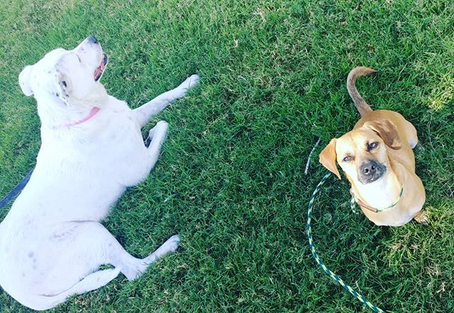 """What a great day at the park with Molly (left) and Courage (right)! We have been working with Molly and her siblings for a couple weeks now and Molly's """"issues"""" have always been with little dogs. Thankfully Courage was an AMAZING helper dog and we had a great morning of walking and socializing."""