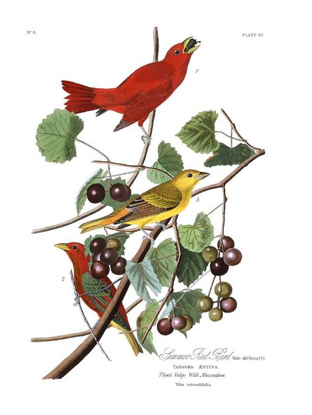 """Summer Red Bird,"" John James Audubon,  Birds of America, 1827-38."