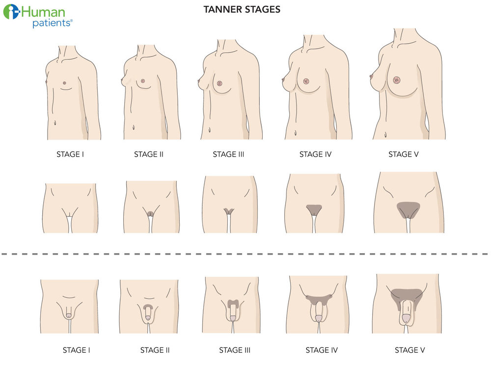 Tanner stages