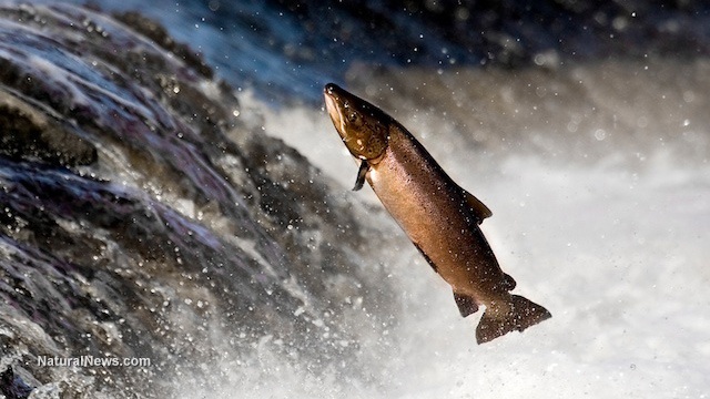 GM Salmon Threaten Already-Declining Fish Populations -