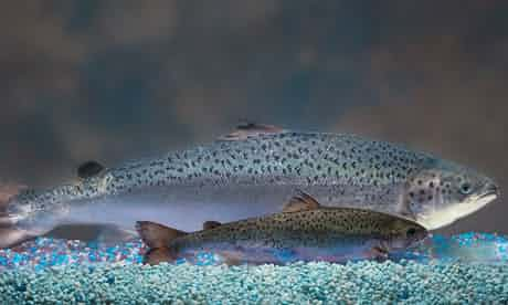 GM 'hybrid' fish pose threat to natural populations, scientists warn  - GM salmon hits shelves in Canada – but people may not know they're buying it