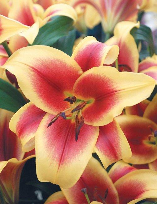 Flavia The Lily Garden