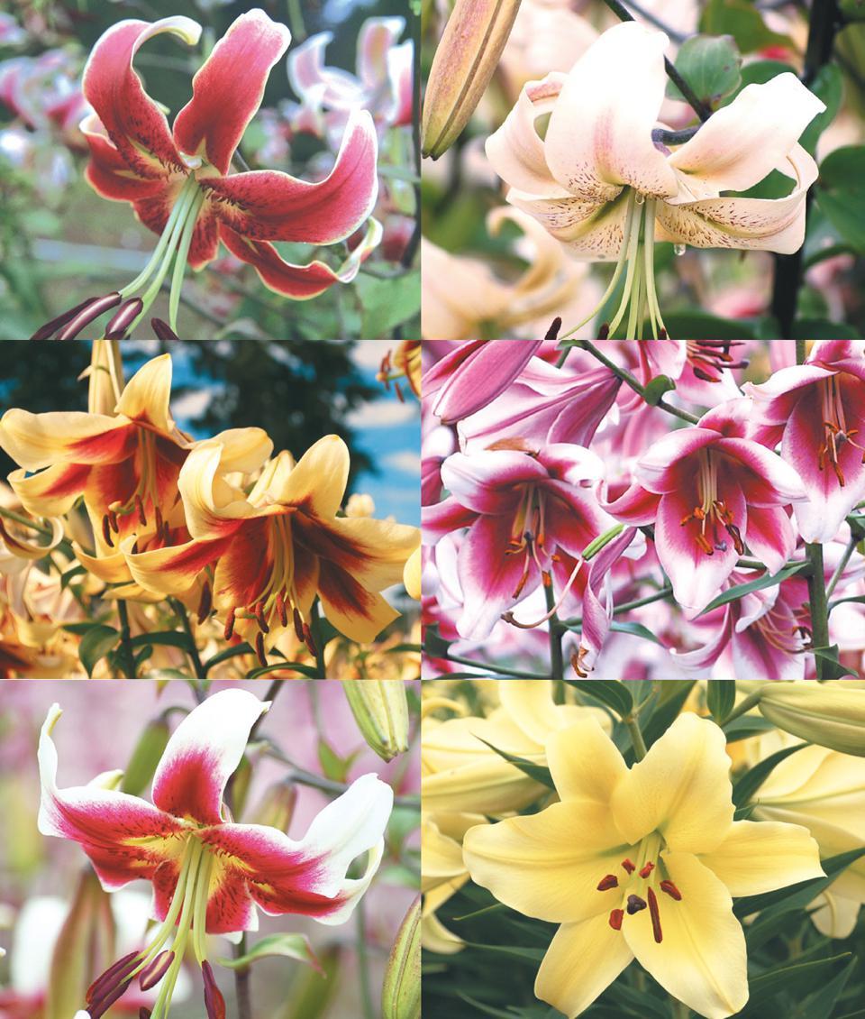 Orienpet Winner S Circle Collection 6 Varieties The Lily Garden