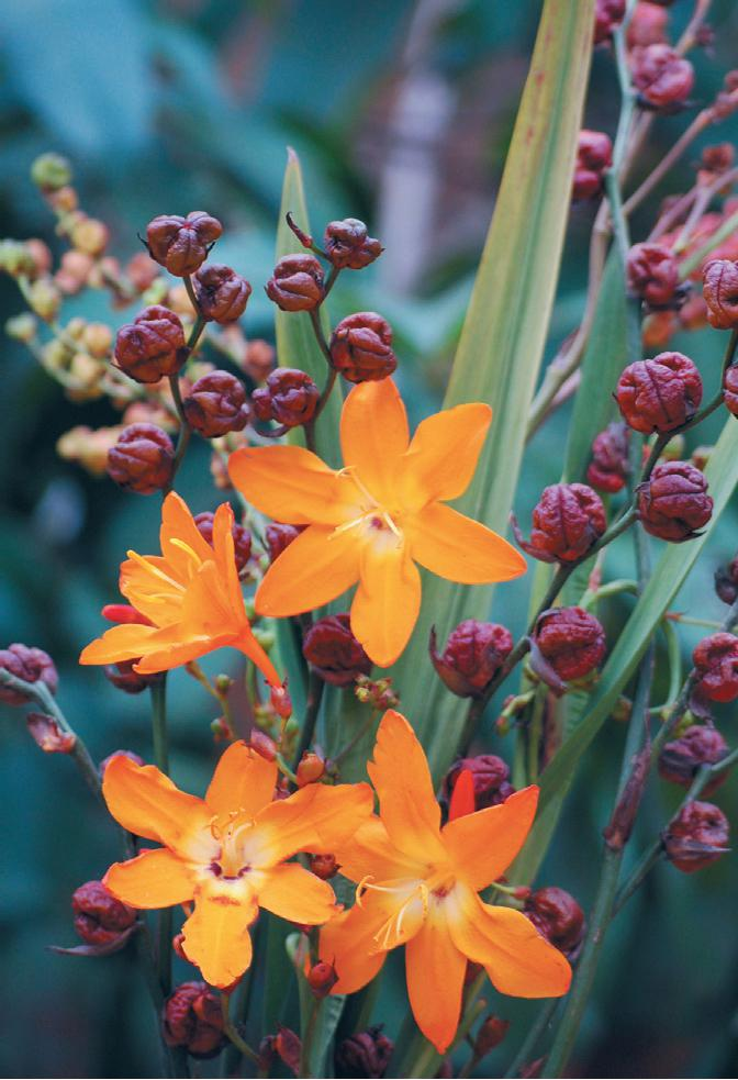 Croscosmia 'Star of the East' CLICK image to SHOP.