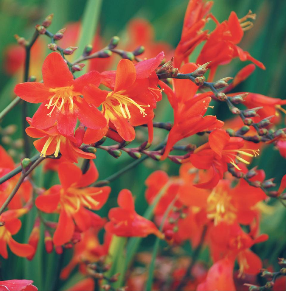 Crocosmia 'Clivie'™ (van Noort) is 3 to 4 feet tall and has very long-lasting flowers. CLICK image to SHOP.