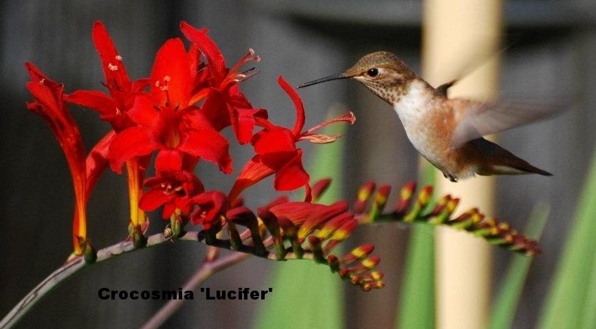 Croc hummingbird 1.jpg