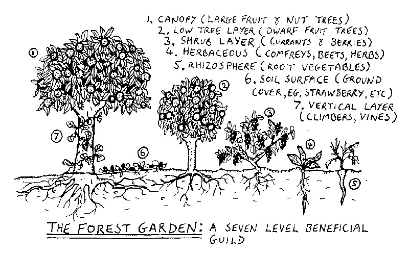 The seven layers of an edible forest garden.