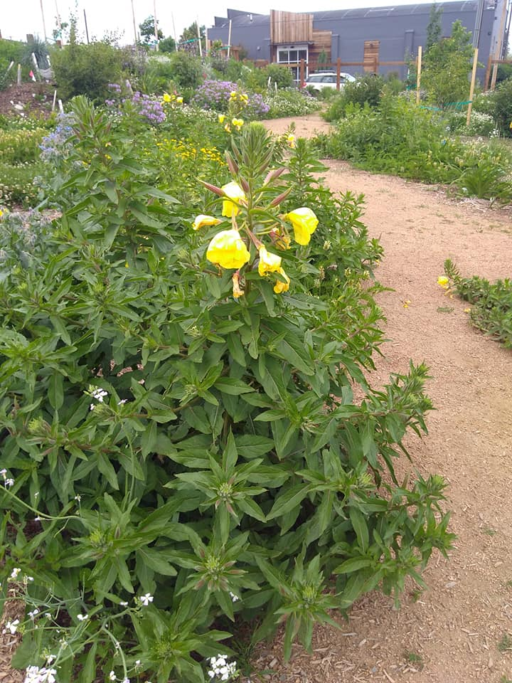 Evening primrose.