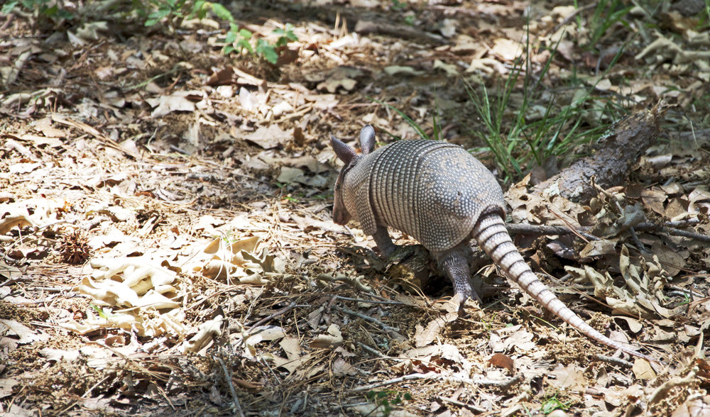 Armadillo Walking.jpg