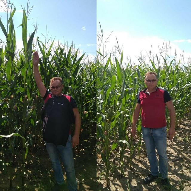 The difference is clear once again. Your corn loves phosphate keep it available with NutriCharge.