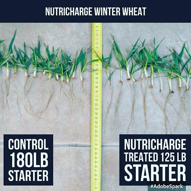 #fertilizer_industry nutricharge phosphorous enhancer showing big increase in #phosphorous efficiency