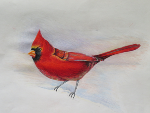 Cardinal, colored pencil, by Julia, age 15