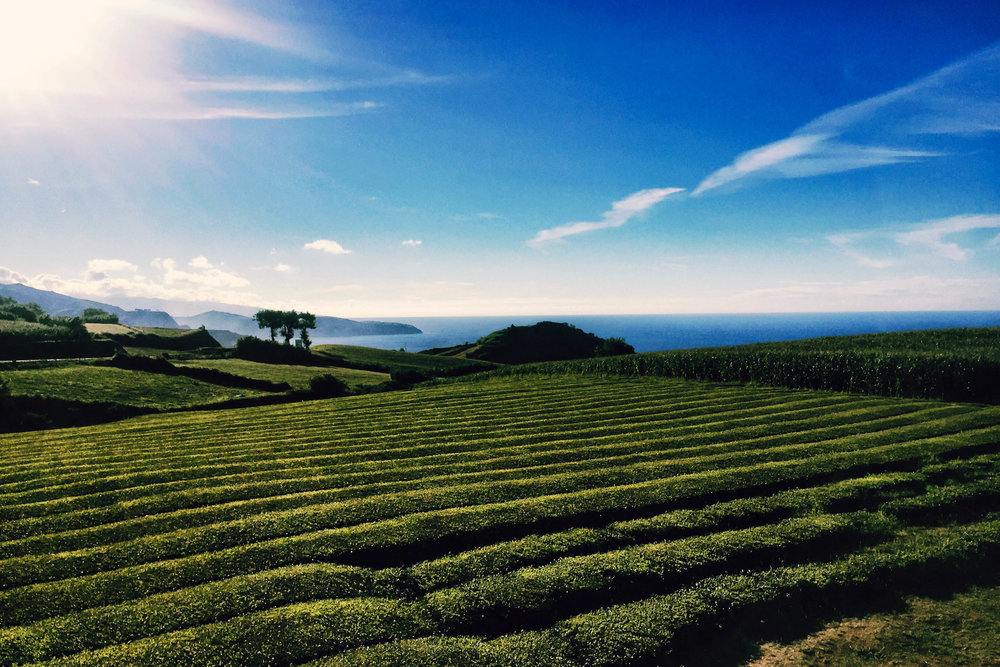 Valleys of tea in Sao Miguel