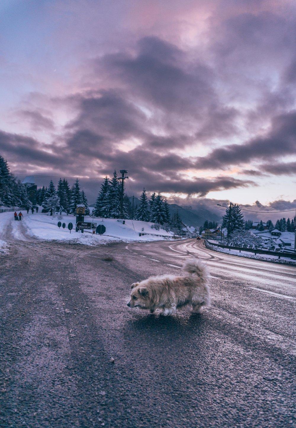 Mountain Dog, Tihuta Pass, Romania