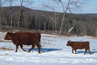 devon-cow-calf-in-snow-.jpg