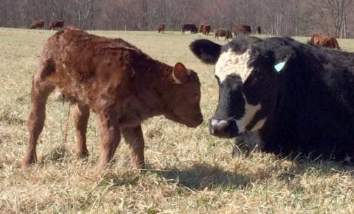 calf, 1 day, spr past, MR copy.jpg