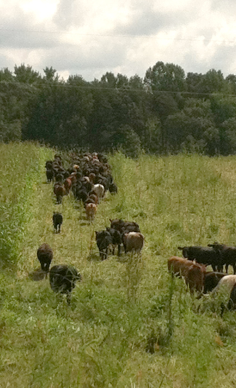 Herd moving to a new paddock.
