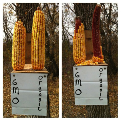 This experiment gave the squirrels a vote. Two ears of corn were set out to see which a wild animal would prefer: a genetically modified ear raised with glyphosate, or an organic.  The one without glyphosate was the winner.  But humans are not as free to choose, since genetically modified corn is grown with glyphosate –  and feedlot beef are fattened on GMO corn.