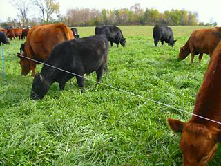 mixed-cattle-grazing-small.jpg