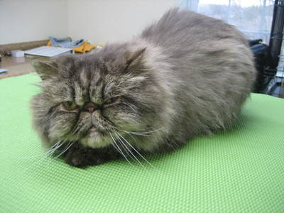 Persian, Olivia (growing out from Lion Clip).jpg