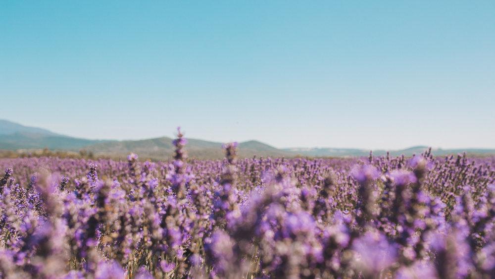 bridstowe lavender fields mt paris damn tasmania-9.jpg