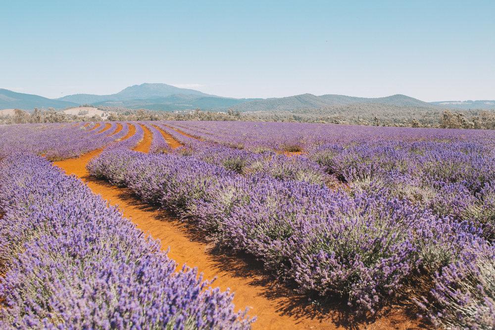 bridstowe lavender fields mt paris damn tasmania.jpg