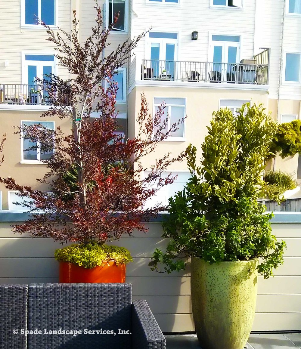 Trees Grow in Rooftop Containers