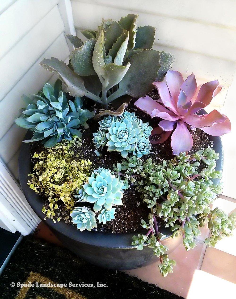 Succulent Container Garden