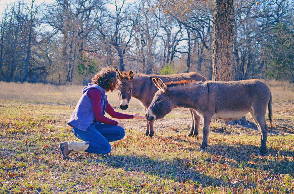 Mini Donkeys.jpg