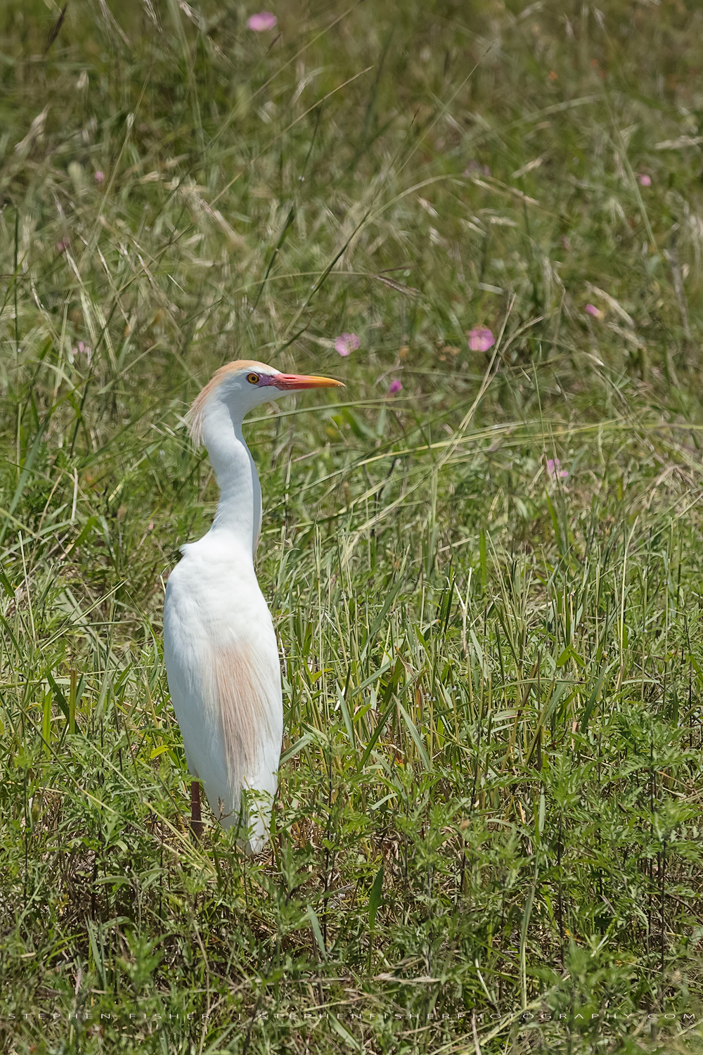 Cattle Egret  Refugio County, TX