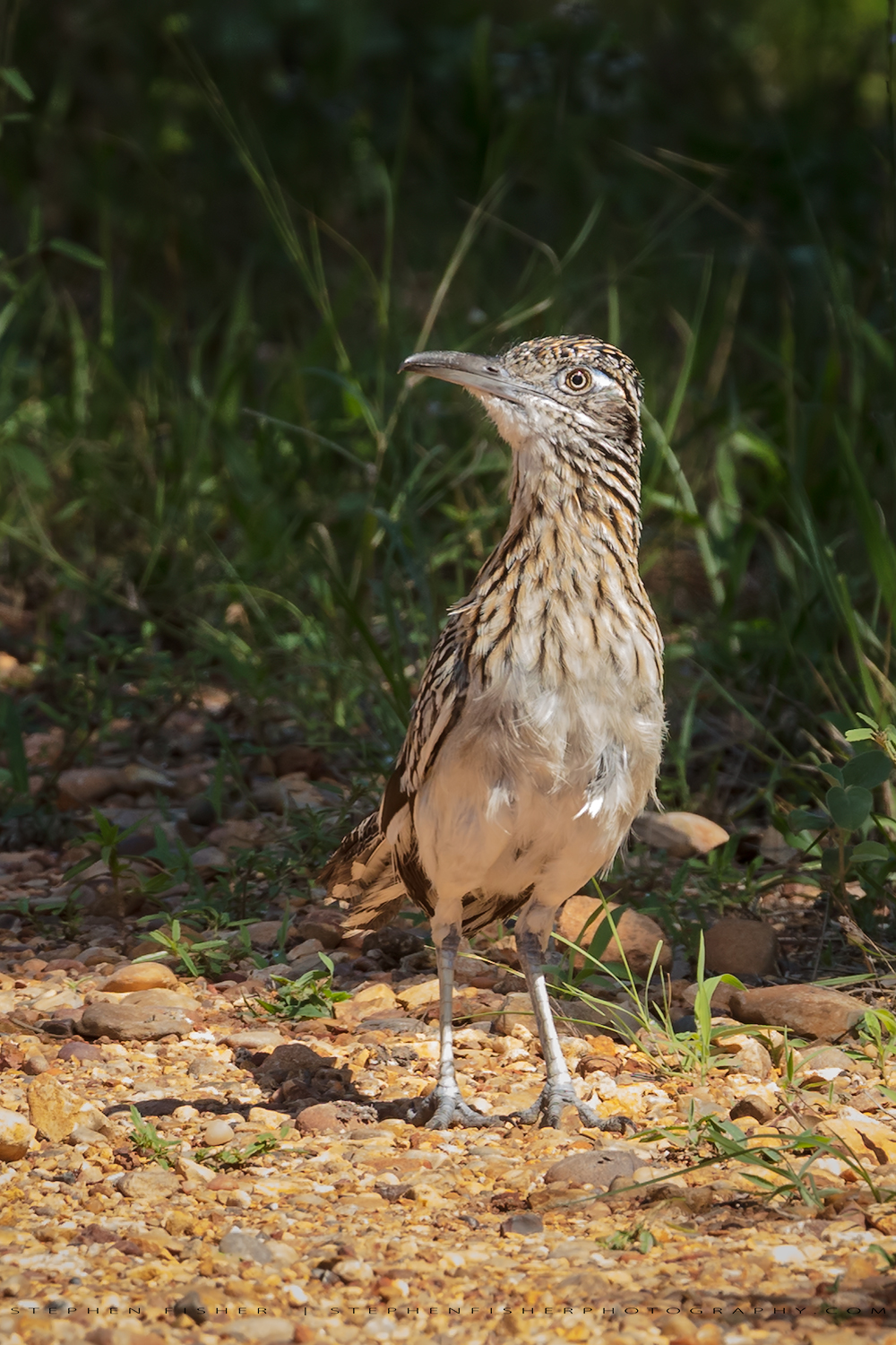 Greater Roadrunner  Refugio County, TX