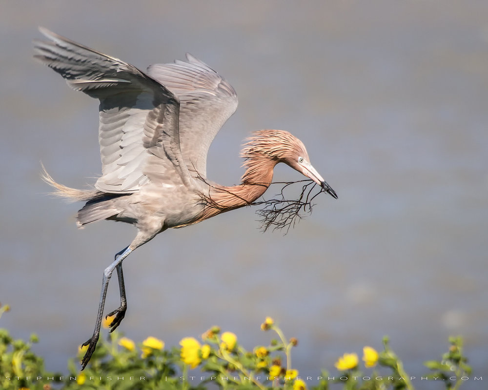 Reddish Egret   Aransas County, TX