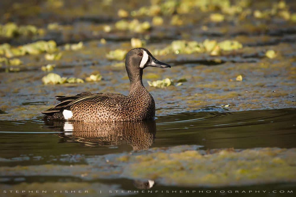 Blue-winged Teal Drake  Refugio County, TX