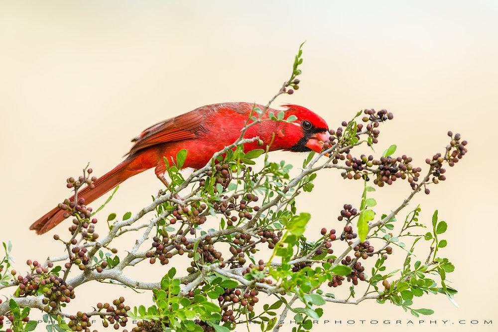 Northern Cardinal #6  Hidalgo County, TX
