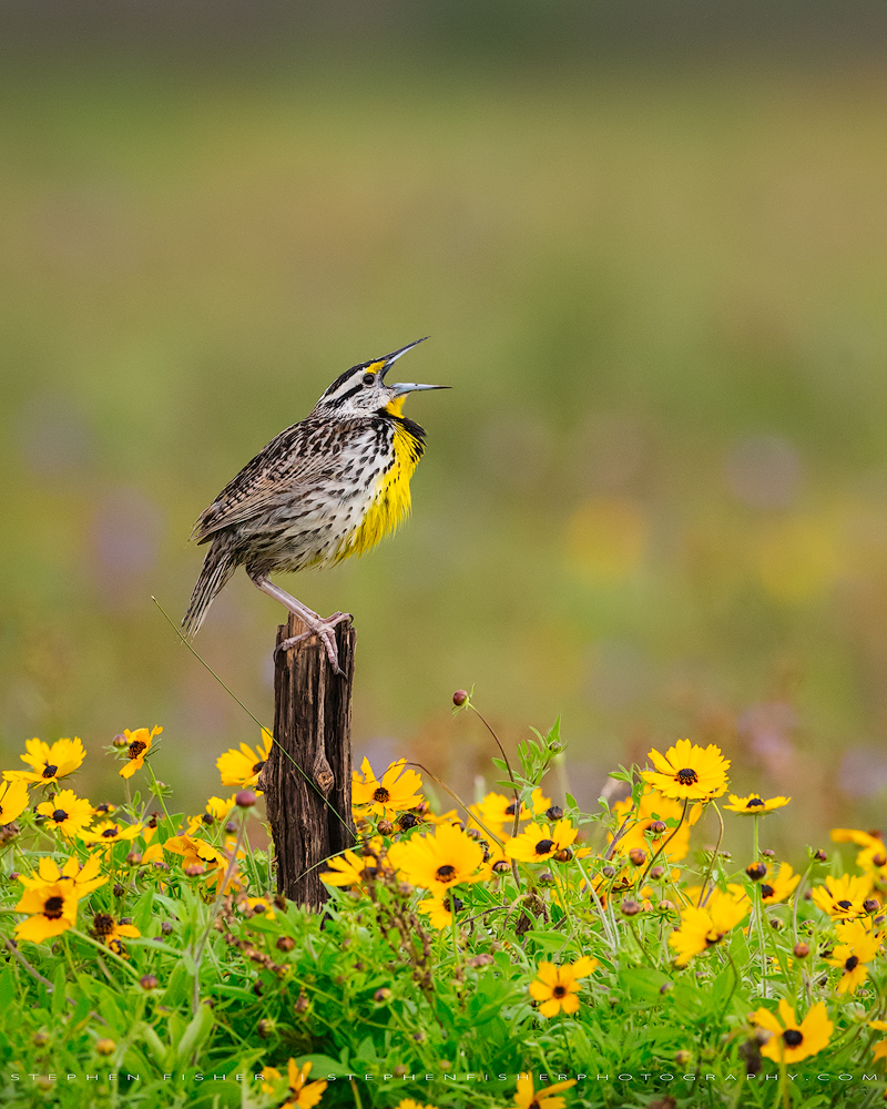 Eastern Meadowlark  Galveston County, TX