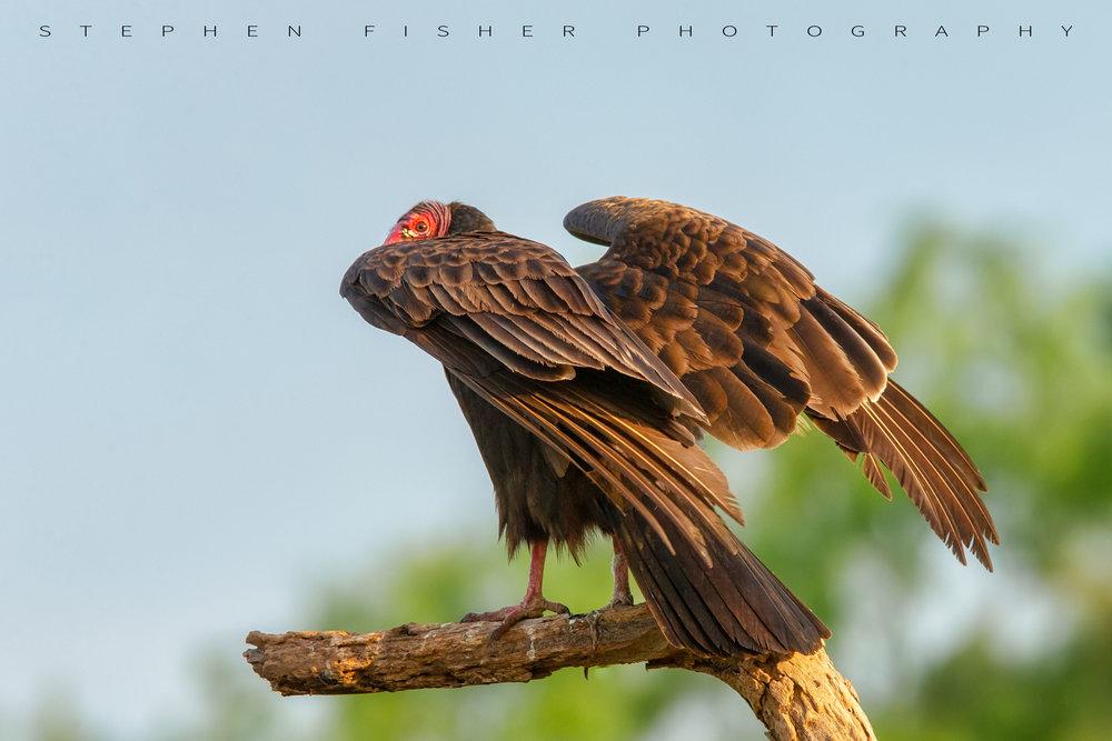 Turkey Vulture #2          Hidalgo County, TX