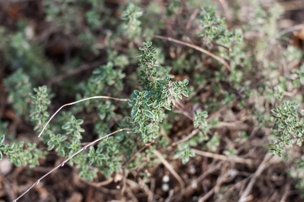 Havdallah gardens - Aromatic Herbs