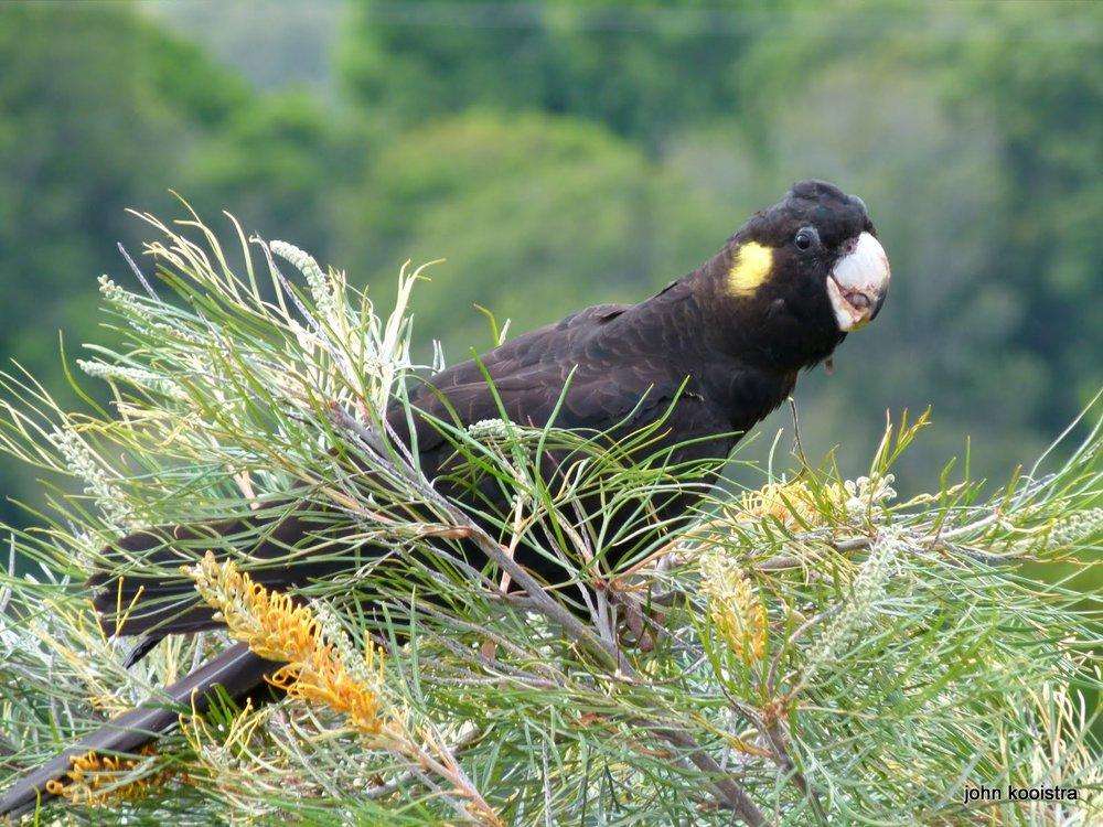 yellow-tailed-black-cockatoo-03.JPG