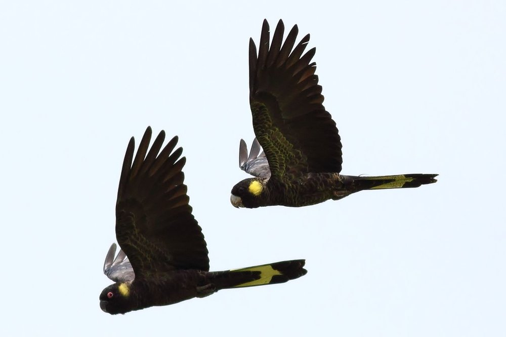 yellow-tailed-black-cockatoo-04.jpg