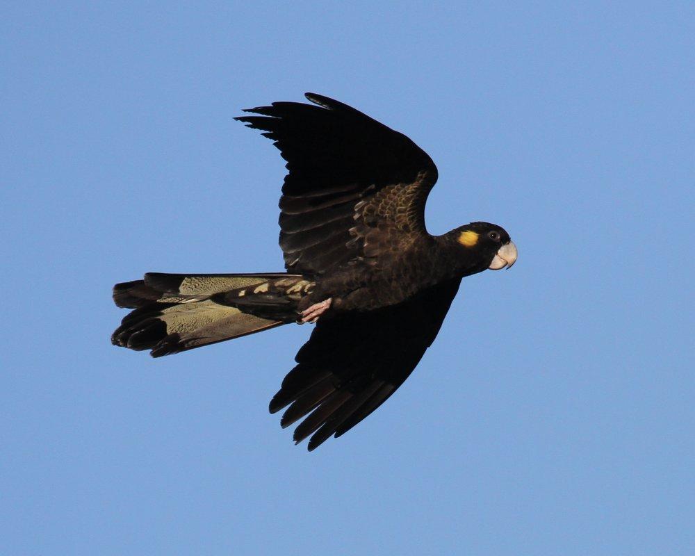yellow-tailed-black-cockatoo-06.jpg