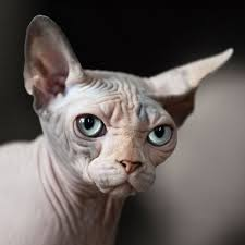 Hairless-cat