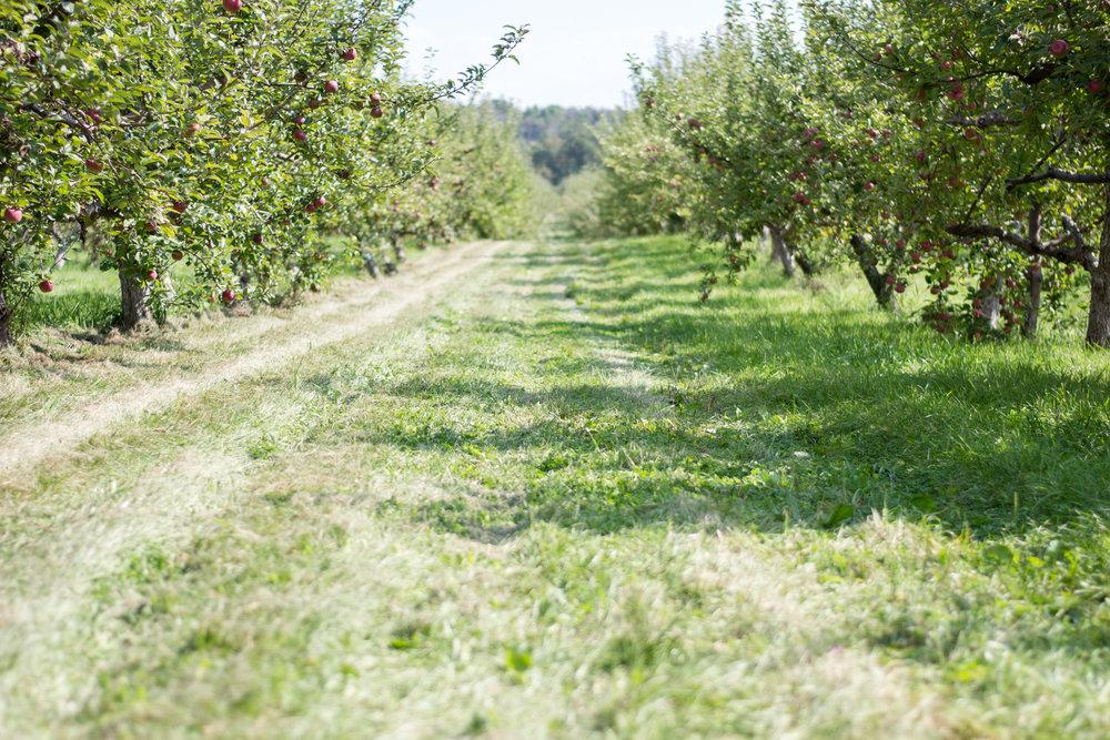 apple orchard (4 of 4).jpg