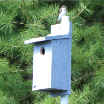 Tree swallow perched on nest box